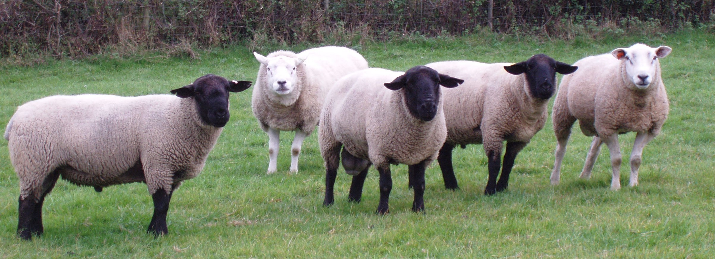 Suffolk, SufTex and Texel stock for sale! | Peter Baber
