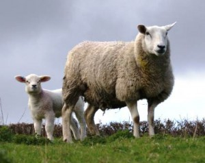 Texel ewe with lamb at foot